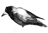 Black Crow - broda